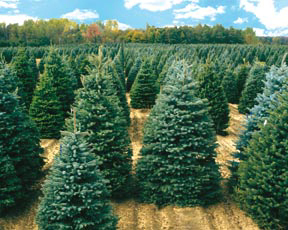 servicing christmas tree retailers from coast to coast since 1950 providing a large selection of quality trees and greens - Christmas Tree Nursery